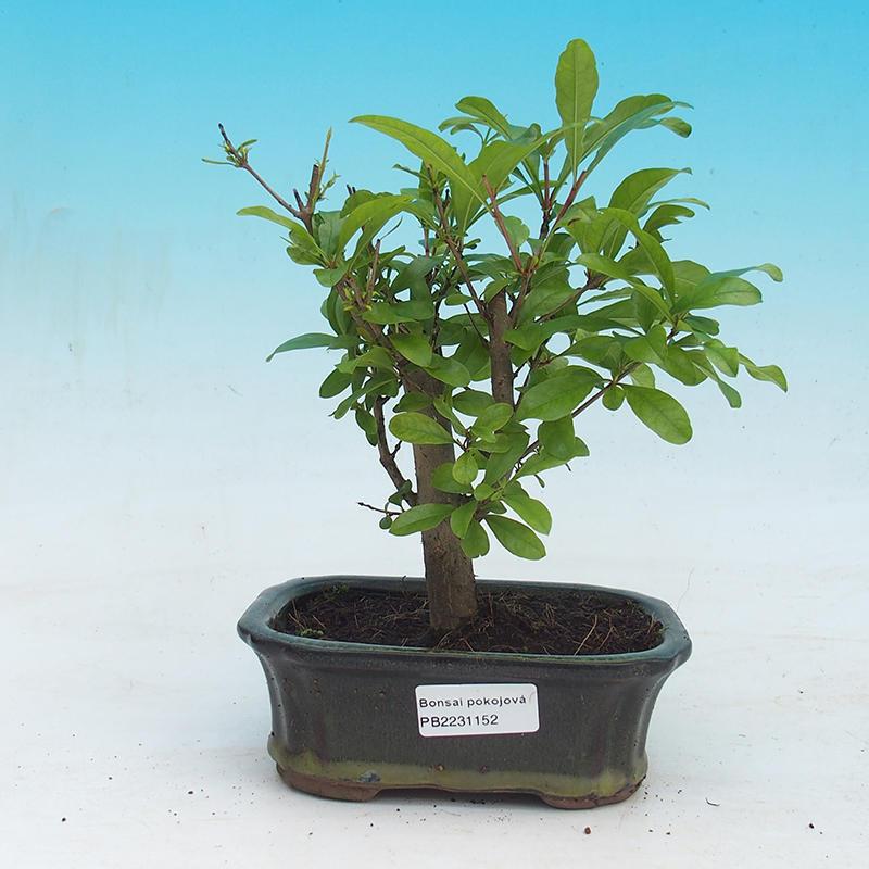 e bonsai room bonsai punica granatum nana pomegranate. Black Bedroom Furniture Sets. Home Design Ideas