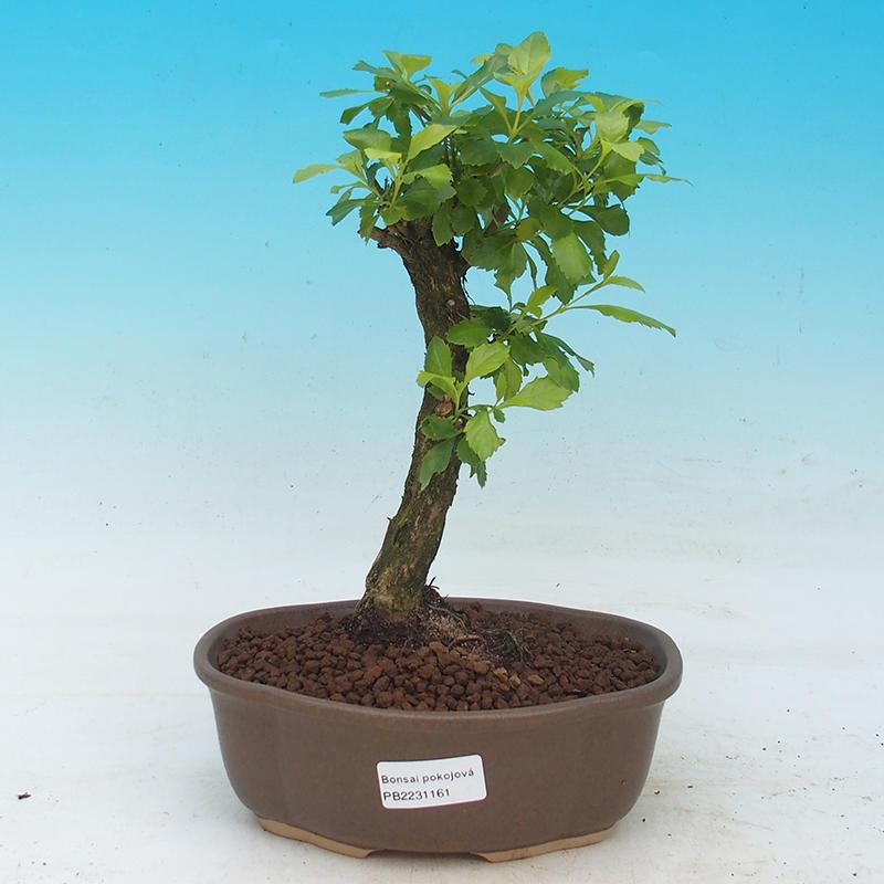 e-Bonsai - Room bonsai - Duranta erecta Aurea
