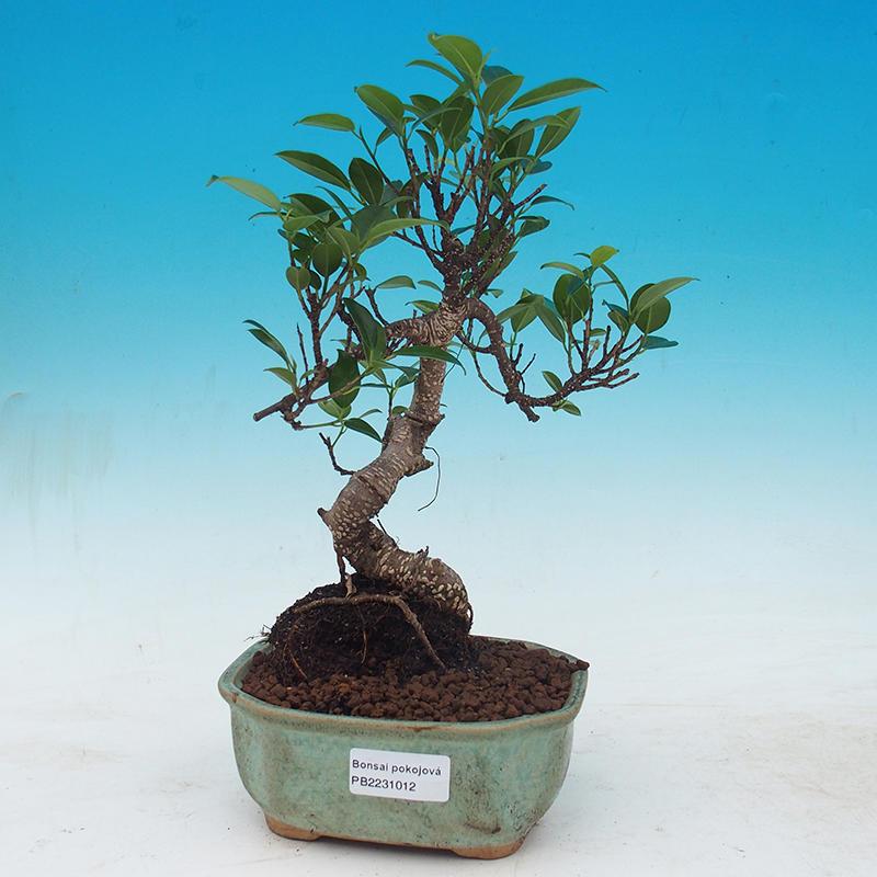 e-Bonsai - Room bonsai - Ficus kimmen - little ficus