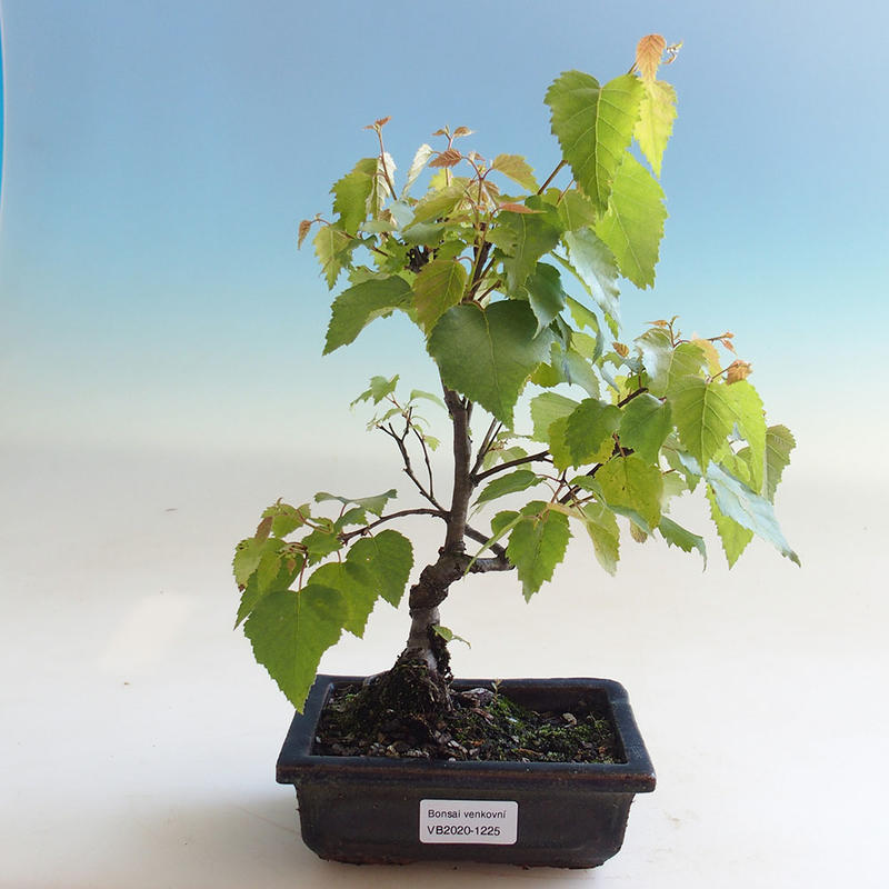 E Bonsai Outdoor Bonsai Betula Verrucosa White Birch