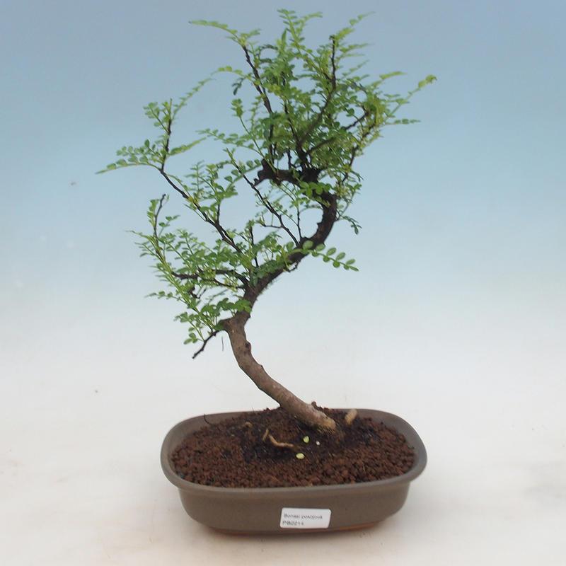 E Bonsai Indoor Bonsai Zantoxylum Piperitum Pepper Tree