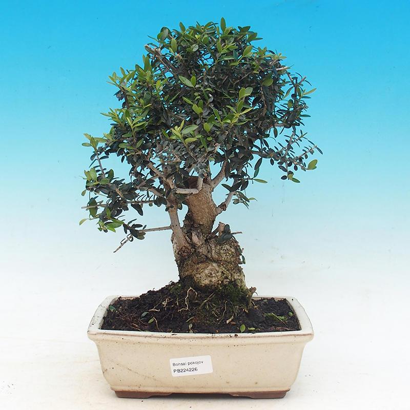bonsai olea europea