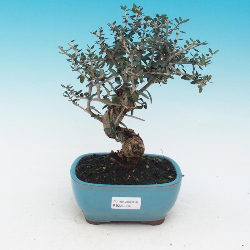 e-Bonsai - Room bonsai - Olea europaea sylvestris -Oliva European ...