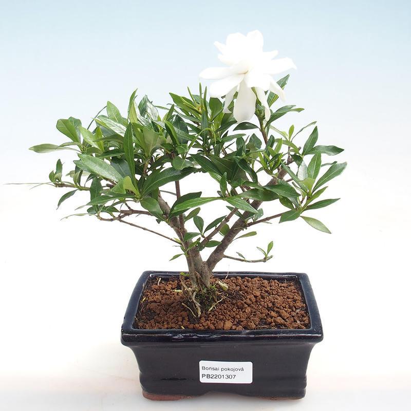 E Bonsai Indoor Bonsai Gardenia Jasminoides Gardenia
