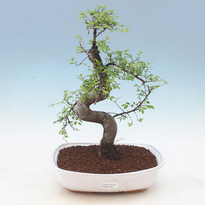 E Bonsai Indoor Bonsai Ulmus Parvifolia Small Leaved Elm