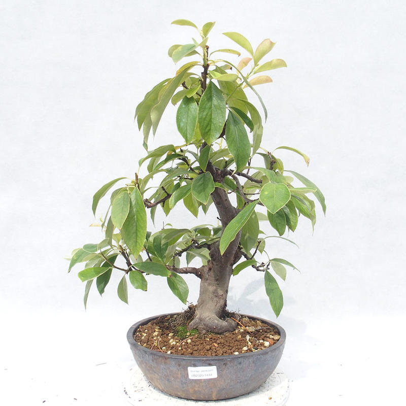E Bonsai Outdoor Bonsai Pseudocydonia Sinensis Chinese Quince