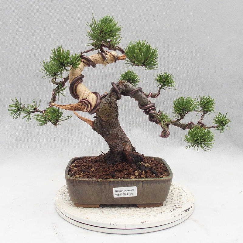 E Bonsai Outdoor Bonsai Pinus Mugo Kneeling Pine
