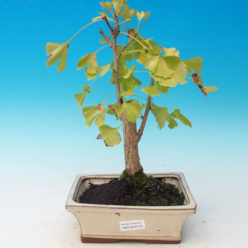 E Bonsai Outdoor Bonsai Ginkgo Biloba