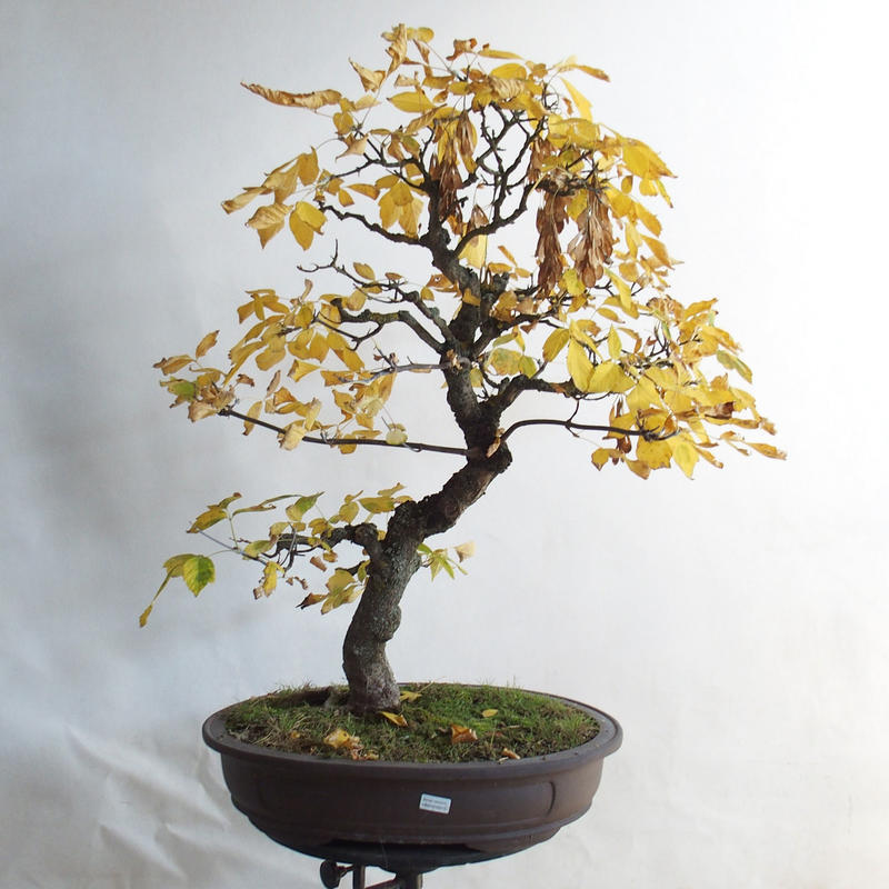 E Bonsai Outdoor Bonsai Asian Maple Acer Negundo