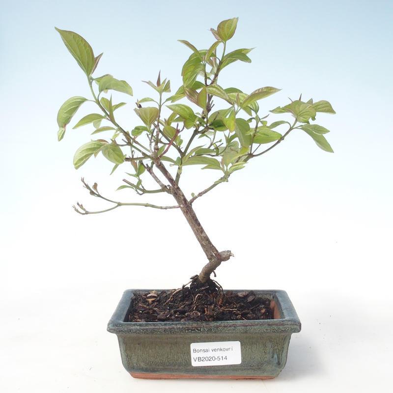 E Bonsai Outdoor Bonsai Dogwood Cornus Mas Vb2020 514