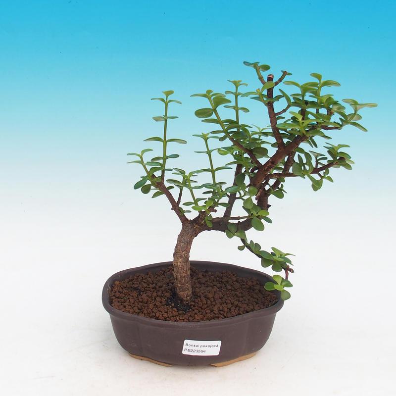 e-Bonsai - Room bonsai - Portulakaria Afra - Tlustice