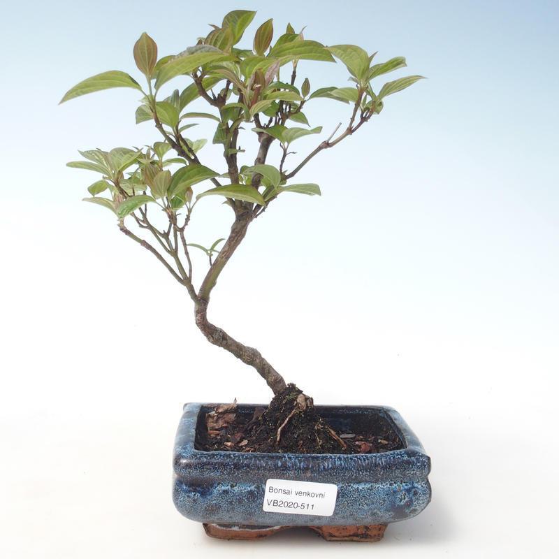 E Bonsai Outdoor Bonsai Dogwood Cornus Mas Vb2020 511