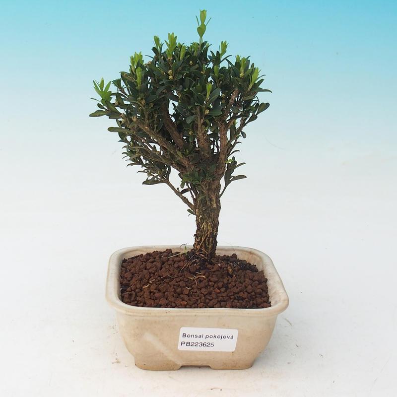 Buxus Bonsai