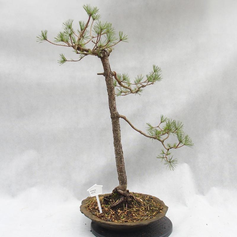 E Bonsai Outdoor Bonsai Forest Borovice Pinus Sylvestris