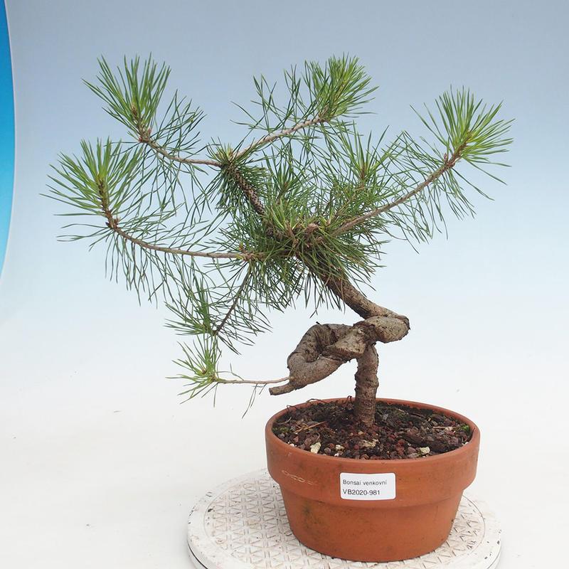 E Bonsai Outdoor Bonsai Pinus Sylvestris Scots Pine