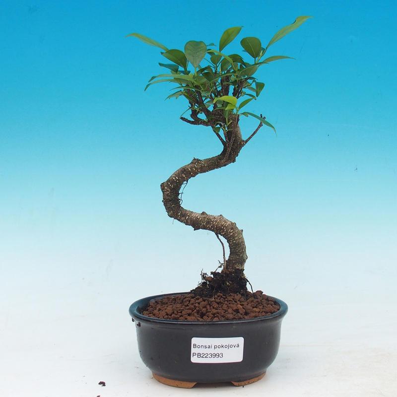 e-Bonsai - Room bonsai - Ficus retusa - malolistý ficus